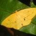 Anisephyra ocularia - Photo (c) aero bird, todos los derechos reservados