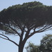 Stone Pine - Photo (c) mcclellanranch, all rights reserved, uploaded by Barbara Banfield