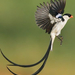 Pin-tailed Whydah - Photo (c) Serena Serrano, all rights reserved