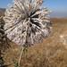 Echinops spinosissimus macrolepis - Photo (c) Ori Fragman-Sapir, όλα τα δικαιώματα διατηρούνται