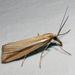 Hednota opulentellus - Photo (c) Jenny Holmes, todos los derechos reservados