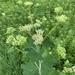 Arnoglossum atriplicifolium - Photo (c) Jacob Shurpit, todos los derechos reservados
