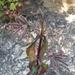 Saponaria glutinosa - Photo (c) Юлия Янькина, todos os direitos reservados