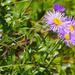 Symphyotrichum foliaceum - Photo (c) Wendy Feltham, כל הזכויות שמורות
