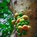 Ficus racemosa - Photo (c) Geetha Ramaswami, כל הזכויות שמורות