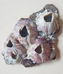 Balanus trigonus image