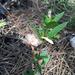 Ruellia caroliniensis succulenta - Photo (c) Judd Patterson, todos los derechos reservados