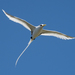 White-tailed Tropicbird - Photo (c) John Mauremootoo, some rights reserved (CC BY-NC-SA)