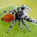 Phidippus adumbratus - Photo (c) c_hutton, all rights reserved