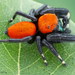 Apache Jumping Spider - Photo (c) c_hutton, all rights reserved