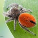 Desert Red Jumping Spider - Photo (c) c_hutton, all rights reserved