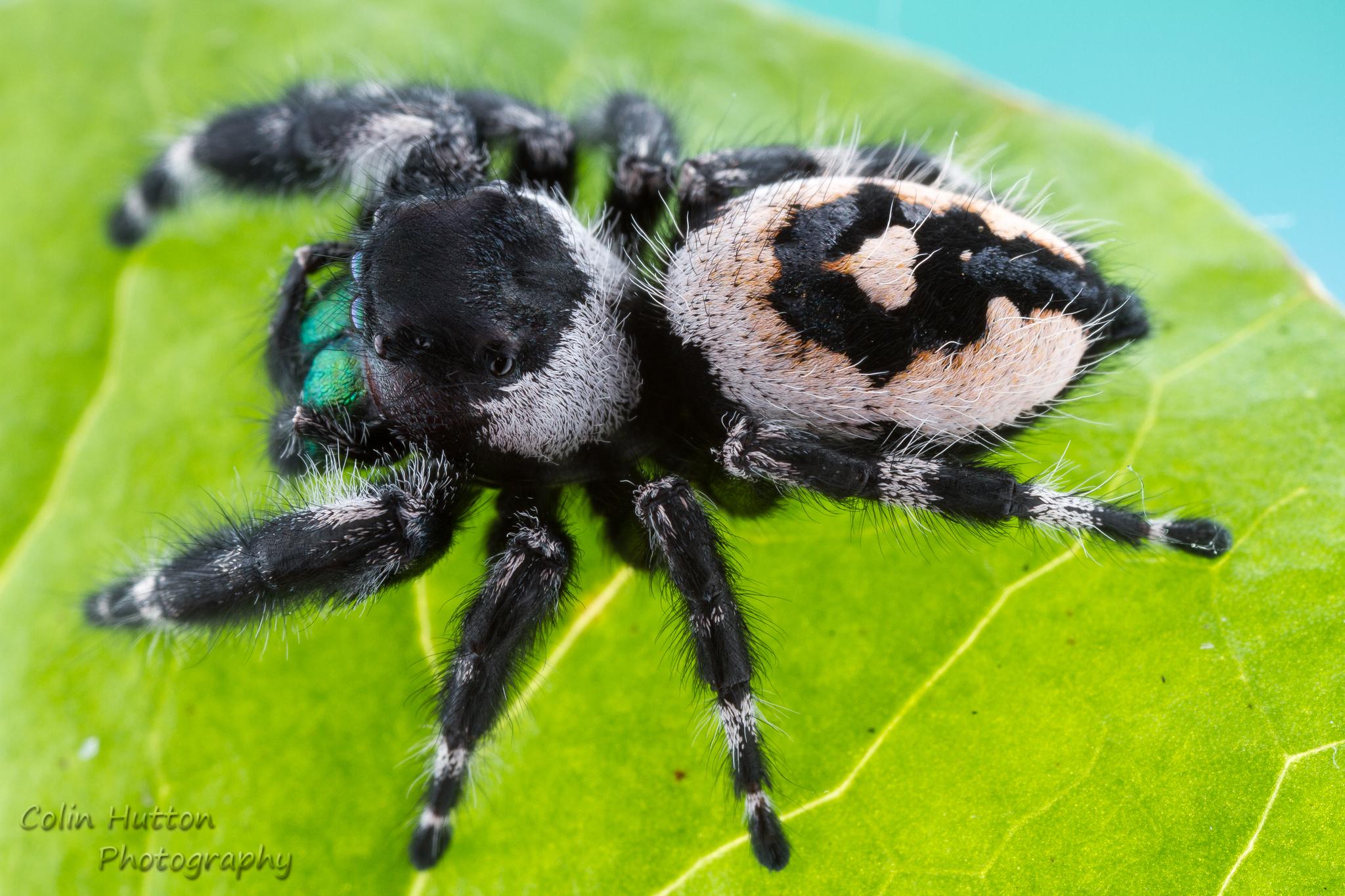 Bold Jumping Spider (Phidippus audax) · iNaturalist org