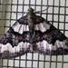 Chrysolarentia gypsomela - Photo (c) Jenny Holmes, todos los derechos reservados