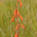 Polianthes geminiflora - Photo (c) Juan Carlos Garcia Morales, todos los derechos reservados