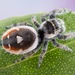 Phidippus californicus - Photo (c) c_hutton, todos los derechos reservados
