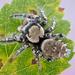 Phidippus carolinensis - Photo (c) c_hutton, todos los derechos reservados