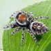 Phidippus comatus - Photo (c) c_hutton, כל הזכויות שמורות