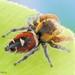 Araña Saltarina Frente Naranja - Photo (c) c_hutton, todos los derechos reservados