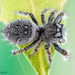 High Eyelashed Jumping Spider - Photo (c) c_hutton, all rights reserved
