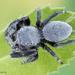 Phidippus octopunctatus - Photo (c) c_hutton, כל הזכויות שמורות