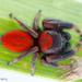 Phidippus pius - Photo (c) c_hutton, todos los derechos reservados