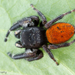 Grayish Jumping Spider - Photo (c) c_hutton, all rights reserved