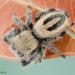 Phidippus tux - Photo (c) c_hutton, todos los derechos reservados