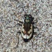 Colorado Dune Tiger Beetle - Photo (c) Tony Gerard, all rights reserved