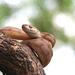 Forsten's Cat Snake - Photo (c) Prakrit, all rights reserved