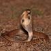 Indian Cobra - Photo (c) Prakrit, all rights reserved