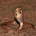 Indian Cobra - Photo (c) Prakrit, all rights reserved
