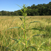 Amaranthus cannabinus - Photo (c) Gary John Peresta, todos os direitos reservados