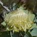 Protea nitida - Photo (c) James Lucas, todos los derechos reservados