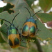 Monocesta ducalis - Photo (c) Valeria, todos los derechos reservados