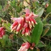 Cavendishia - Photo (c) santiago blanco p, כל הזכויות שמורות