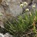 Sesleria sphaerocephala - Photo (c) Nannie, all rights reserved