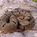 Tamaulipan Rock Rattlesnake - Photo (c) Elí García-Padilla, all rights reserved