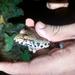 Leptodactylus troglodytes - Photo (c) Angelo Iumatti, all rights reserved