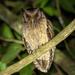 Megascops watsonii usta - Photo (c) Jessica dos Anjos, όλα τα δικαιώματα διατηρούνται