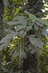 Myriocarpa longipes image