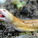 Red Worm Lizard - Photo (c) Alvarovelasua, all rights reserved