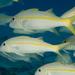 Yellow Goatfish - Photo (c) Juan Miguel Artigas Azas, all rights reserved