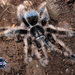 Curlyhair Tarantula - Photo (c) arachnida, all rights reserved