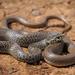 Serpiente Látigo de Los Balcanes - Photo (c) Clo, todos los derechos reservados