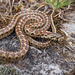 European Ratsnake - Photo (c) Clo, all rights reserved
