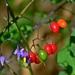 Tomate, Tabaco, Chiles, Floripondios Y Parientes - Photo (c) johngcramer, todos los derechos reservados, uploaded by John Cramer III