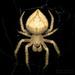 Eriophora edax - Photo (c) Joseph C, όλα τα δικαιώματα διατηρούνται