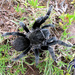 Tarántula Mexicana de Terciopelo Negro - Photo (c) arachnida, todos los derechos reservados