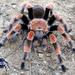 Tarántula Mexicana de Rodillas Rojas - Photo (c) arachnida, todos los derechos reservados
