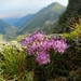 Phyteuma - Photo (c) Vasile Stan, todos los derechos reservados